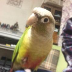 よもぎさん #ウロコインコ #greencheekconure #conure #parrot #parakeet #instapet #birdsofinstagram  #inko_kawa_inko #mypetbird by s4k1k http://www.australiaunwrapped.com/