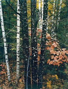 "snowce: ""Eliot Porter, Maple and Birch Trunks and Oak Leaves, Passaconaway Road, New Hampshire, 1956 "" Digital Photography, Fine Art Photography, Landscape Photography, Nature Photography, Classic Photography, Louis Daguerre, Edward Weston, Richard Avedon, New Hampshire"