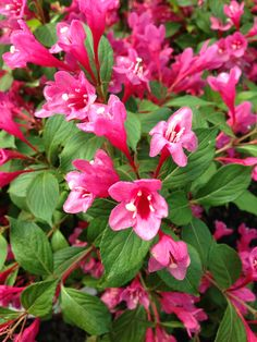 Wiegela Sonic Bloom Pink  (or any color complementary to surrounding plants)