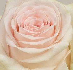 Sweet Dolomiti Marjoland Pale Pink, Pink Roses, Wedding Decorations, Wedding Ideas, Spring Wedding, Blush, Country, Natural, Green