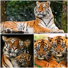 The most endangered species of animal is tiger