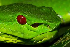Chinese Green Tree Pit Viper (Trimeresurus stejnegeri) by itchydogimages, via Flickr