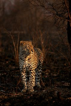 """500px / Photo """"Burnt Leopard"""" by Rudi Hulshof A large male leopard strolls through a patch of recently burned savannah."""