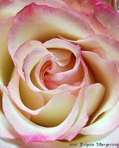 SCARLET RIBBON ROSE Fine Art Photograph by brigettamargarietta