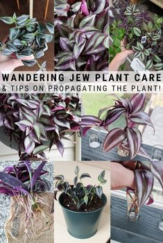 Learn how to care for a wandering jew plant. The wandering jew plant is hardy and easy to care for. It will make the perfect addition to your collection! Succulents Garden, Garden Plants, Planting Flowers, Easy House Plants, Succulent Planters, Growing Flowers, Balcony Garden, Pothos Plant, Plant Cuttings
