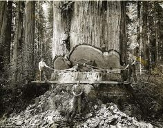 Men felling a Giant Redwood by hand in the 1920's..