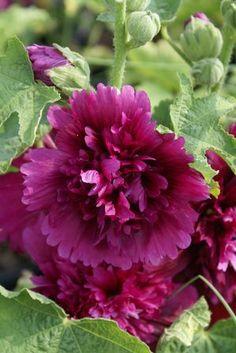Hollyhock 'Queeny Purple'  Alcea rosea - Fully double blooms. Zones 2-8