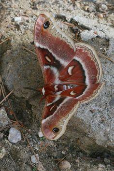 Columbia Glover's Silk Moth