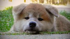 春になったことやし秋田犬画像をドバーッと出して行く:ハムスター速報