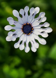 Spoon Osteospermum White Spoon Osteospermum photo by Garden MuseWhite Spoon Osteospermum photo by Garden Muse Rare Flowers, Unique Flowers, Exotic Flowers, Amazing Flowers, Beautiful Flowers, Cactus Flower, My Flower, Flower Art, Unusual Plants