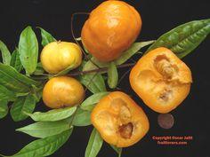 Frutas Exóticas - Guaiabila - Eugenia victoriana