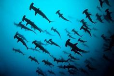 In the Galapagos. With hammer head sharks. Ragnor Fell, Hammerhead Shark, Galapagos Islands, Galapagos Diving, Scuba Diving, Shark Week, Ocean Life, Marine Life, Sea Creatures