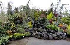 danger garden: Colorful conifers at Portland Nursery