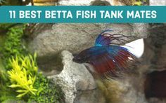 Many bettas don't get along with other fish in their tank, especially shiny or colorful fish. But here are 11 creatures that can safely live with bettas. 13 Safe and Compatible Betta Fish Tank Mates Jessica Lucas pets Many bettas don't ge Tropical Freshwater Fish, Freshwater Aquarium Fish, Tropical Fish, Colorful Fish, Fish Aquariums, Betta Fish Tank Mates, Betta Fish Care, Aquarium Set, Aquarium Ideas