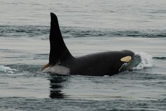 Photo C of 57-year old J1 (Ruffles) rising, by Miles Ritter on July 31st, 2008, as about 12-15 members of J-Pod and K-Pod passed by Saturna Island in Boundary Pass travelling west.