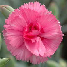 Dianthus Scent First Eternity (72) Perennial that has the old-fashioned clove smell of classic dianthus plants.