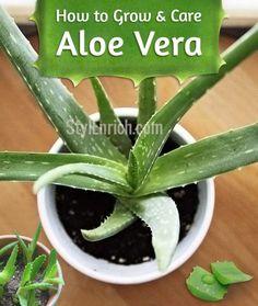 How to Grow Aloe Vera #minigardens