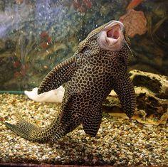 Brocade catfish or a walking fish. Serenade by posiannik22