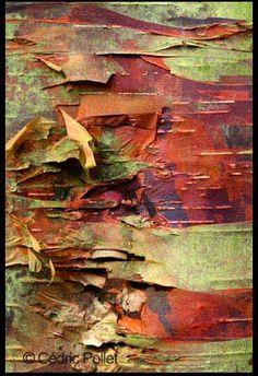 bark: Betula utilis
