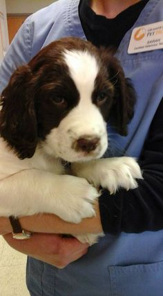 This is Edward. A 7 week old Springer Spaniel.