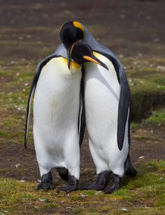 "https://flic.kr/p/rbZ9Kb | King Penguins, Falklands. | King Penguins, Falklands. For licensing see: <a href=""http://www.gettyimages.co.uk/detail/photo/visualize-passion-royalty-free-image/540829813"" rel=""nofollow"">www.gettyimages.co.uk/detail/photo/visualize-passion-roya...</a>"