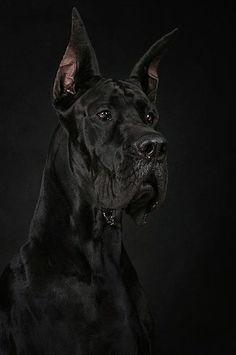 black on black ( #greatdane #dogs ) ✌eace | H U M A N™ | нυмanACOUSTICS™ | н2TV™