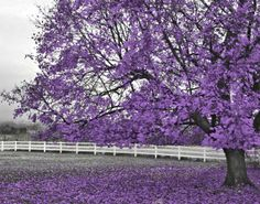 Black and White Purple Tree Home Decor Wall by LittlePiePhotoArt