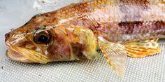 Il pesce lucertola (Synodus saurus) è un pesce di mare della famiglia Synodontidae. #guidofrilli
