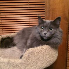 Grey nebelung Molly waiting for Christmas