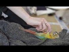 Perroquet conure chatouillé - Conure parrot tickles - YouTube