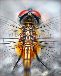 "This is a stunning closeup of a dragonfly, a member of the Odonata order, suborder Anisoptera, which comes from the Greek words ""uneven"" and ""wings"" because the hindwing is much broader than the. Macro Photography Tips, Micro Photography, Foto Macro, Cool Bugs, Fotografia Macro, Macro And Micro, Dragonfly Art, Dragonfly Tattoo, A Bug's Life"