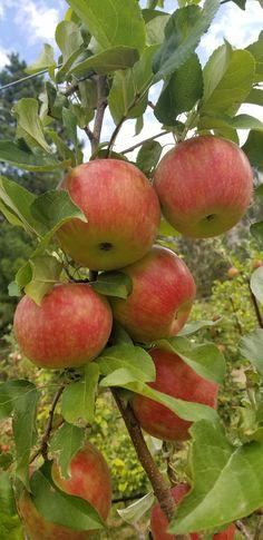 Inspecting Honey Crisp apples Honey Crisp, Apple Crisp, Apples, Fruit, Blog, Blogging, Apple