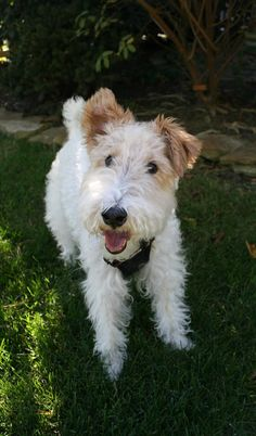 BEATRIX - Wire Fox Terrier - IL. She looks a happy and loved little soul.