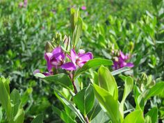 Vivers Barri | Polygala myrtifolia