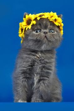 Sunflower Kitteh