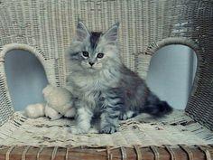 oooohhh <3 pure sweetness !    Alwaro Maine Coon Cattery