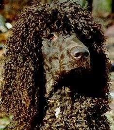 Irish Water Spaniels look like they belong in an 80s hair band...and they are hypoallergenic.