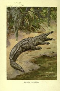 Crocodile. The American natural history v.4 New York,C. Scribner's Sons,1914. Biodiversitylibrary. Biodivlibrary. BHL. Biodiversity Heritage Library
