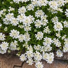 Iberis sempervirens Purity to right of garage