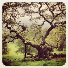 Tree at Ashton Court (Bristol UK)