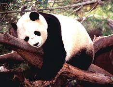 Resultados de la Búsqueda de imágenes de Google de http://osos.anipedia.net/images/oso-panda.jpg
