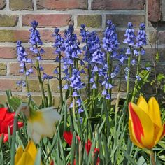 Blau im Beet: das Spanische Hasenglöckchen (Hyacinthoides hispanica) zwischen roten und gelben Tulpen und Narzissen. Toll für den Garten im Frühling. Pflanzzeit ist im Herbst - online bestellbar bei ww.fluwel.de Hyacinthoides, Bulbs, Flowers, Plants, Yellow Tulips, Daffodils, Lawn And Garden, Autumn, Lightbulbs