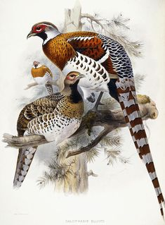 Bird Print (Frame Not Included) Ships in 24 Hours! ✔ Vintage Elliots Pheasant by John Wolf, 1872 bird print, illustration page. Vintage Birds, Vintage Art, Audubon Prints, Desenho Tattoo, Wolf, Bird Drawings, Bird Pictures, Botanical Illustration, Vintage Bird Illustration