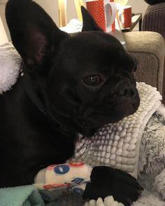 When you're recovering from your patella surgery #vet #surgery #patella #dog #frenchbulldog #frenchies #puppy #cute #batpig #sydneyfrenchies #bondi #frenchbulldogpuppy #frenchbulldogsofinstagram #instagood #sydney #australia #dogsofinstagram #dogoftheday #bulldog #bully #thefrenchiepost #frenchiesoverload #frenchieviv #bondibeach #puppies #squishyfacecrew #pets #picoftheday #bullyinstafeature #bullyinstagram