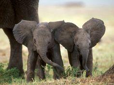 Cutegreggator: OMG, Baby Elephants!                                                                                                                                                     More