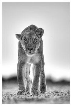 B&W print of a lion stalking