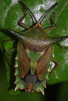 Ornate shield bug (Pygoplatys acutus?)