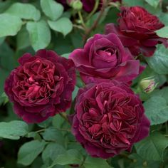 We carry the latest and best varieties of David Austin English Roses for our climate. David Austin English roses are characterized by their bushy growth Fragrant Roses, Shrub Roses, David Austin Roses, Austin Rosen, Fast Growing Shrubs, Growing Roses, Garden Pictures, Love Flowers, Exotic Flowers