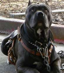 bandogge mastiff. this is my favorite:)