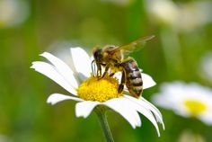The Bee Sting bigstock-Bee-on-the-chamomile-flower-46057261  A vacationing family drives along in their car, windows rolled down, enjoyin...
